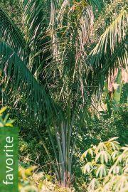 Ravenea lakatra – Ironwood Palm