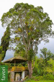 Retrophyllum rospigliosii