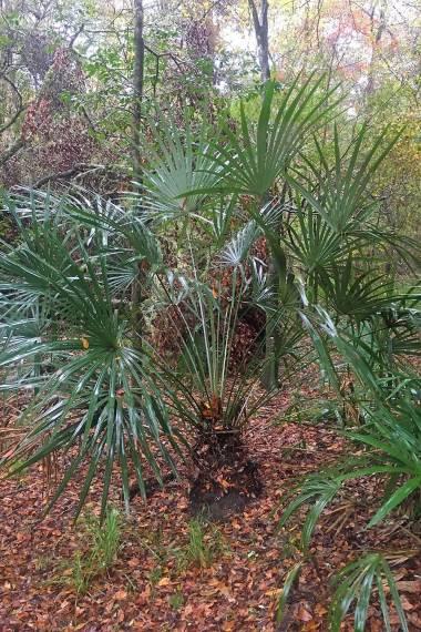 Rhapidophyllum hystrix 'Georgia' – Georgia Needle Palm