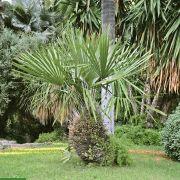 Rhapidophyllum hystrix – Needle Palm