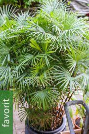 Rhapis multifida – Zierliche Steckenpalme