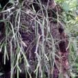 Rhipsalis micrantha