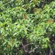 Rhus chirindensis – Red Currant Tree