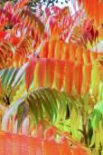 Rhus typhina – Staghorn Sumac, Velvet Sumac