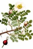 Rosa spinosissima – Burnet Rose