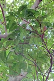 Rothmannia capensis – Wild Gardenia
