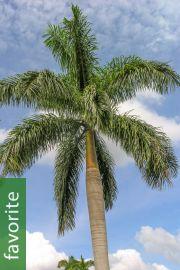 Roystonea regia – Cuban Royal Palm