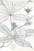 Rubus lineatus
