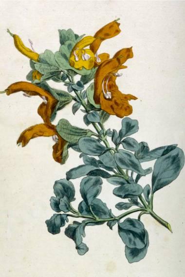 Salvia africana-lutea – Afrikanischer Strand-Salbei