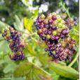 Sambucus africana – African Elderberry