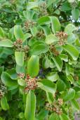 Santalum austrocaledonicum var. pilosulum