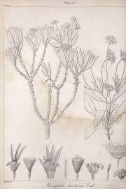 Scabiosa dumetorum – Kanarische Strauchskabiose