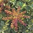 Schefflera arboricola – Dwarf Umbrella Tree