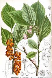 Schisandra chinensis – Five-Flavor Berry