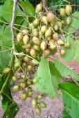 Schleichera oleosa – Malay Lac Tree