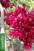 Schotia brachypetala – Drunken Parrot Tree