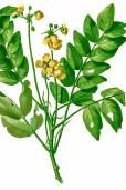 Senna sulfurea – Pato de zorrillo, flor de San Jose