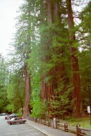 Sequoia sempervirens – Coast Redwood