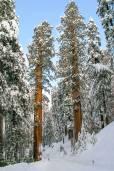 Sequoiadendron giganteum – Séquoia géant