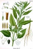 Sesamum indicum 'Black Seed'