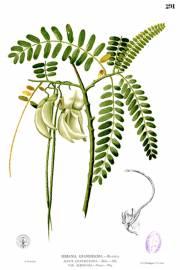 Sesbania grandiflora – Turibaum