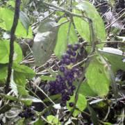 Smilax kunthii – Cuculmeca roja