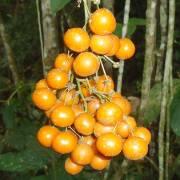 Smilax purhampuy – Purhampuy, china peruana