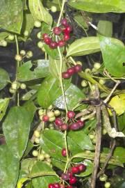 Smilax spinosa – Cabrestillo, zarzaparilla
