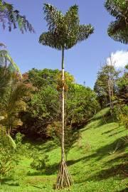 Socratea exorrhiza – Palma zanco, palmito amargo tarapoto