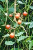 Solanum aturense