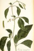 Solanum lanceifolium