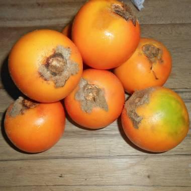 Solanum quitoense – Naranjilla, Lulo