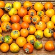 Solanum sessiliflorum – Cocona