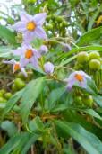 Solanum storkii – Talamanca Tree Nightshade