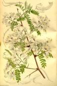 Sophora davidii