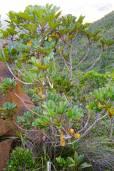 Soulamea trifoliata