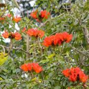 Spathodea campanulata – African Tuliptree