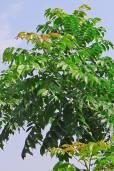 Spondias pinnata – Andaman Mombin, Ambada