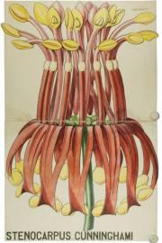 Stenocarpus sinuatus – Árbol de las ruedas de fuego
