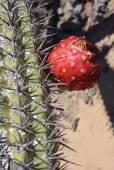 Stenocereus eruca – Creeping Devil Cactus