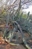 Stenocereus gummosus – Sour Pitaya