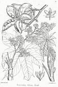 Sterculia villosa – Elephant Rope Tree