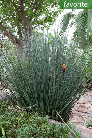 10 graines-Musa tuberculata