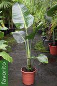 Strelitzia nicolai – Ave de paraiso blanco