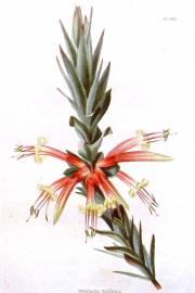 Styphelia triflora – Pink Five-Corners