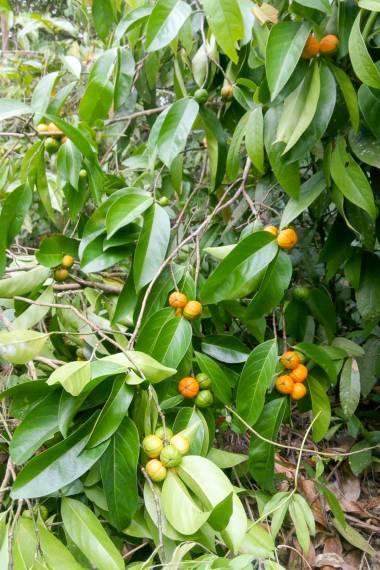 Suregada multiflora – False Lime
