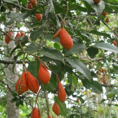 Swartzia simplex – Mountain Orange