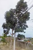 Swietenia macrophylla – Big Leaf Mahogany