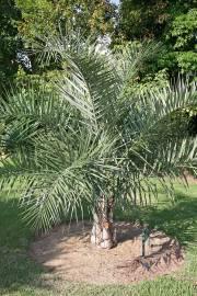 Syagrus coronata – Licuri Palm