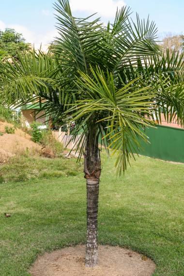 Syagrus lorenzoniorum – Mirim Quarter Coconut